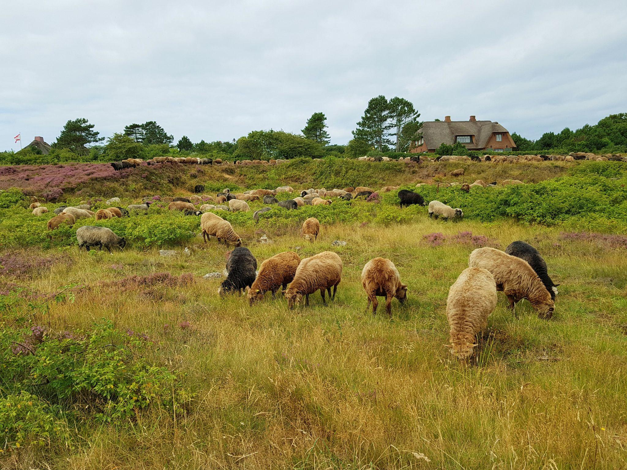 Schafe-in-Heide-Sylt